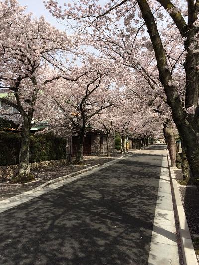 2016 桜-1