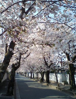 箕面の桜並木通り