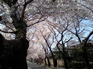 今年も見事な桜並木