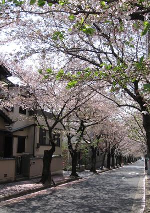 今年も見事な桜並木でした